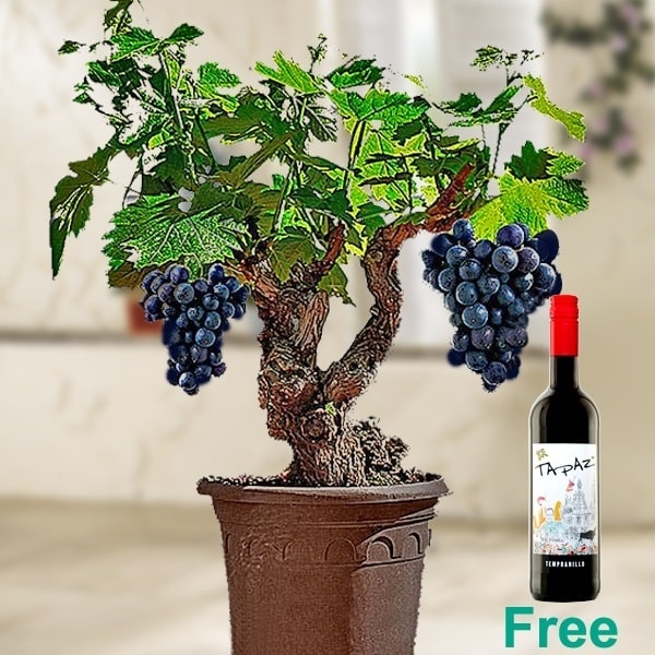 Grapevine And Red Wine Set