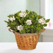 Blooming Gardenia Plant in Basket