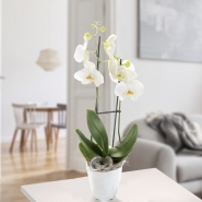 2 Orchids With White Blossoms